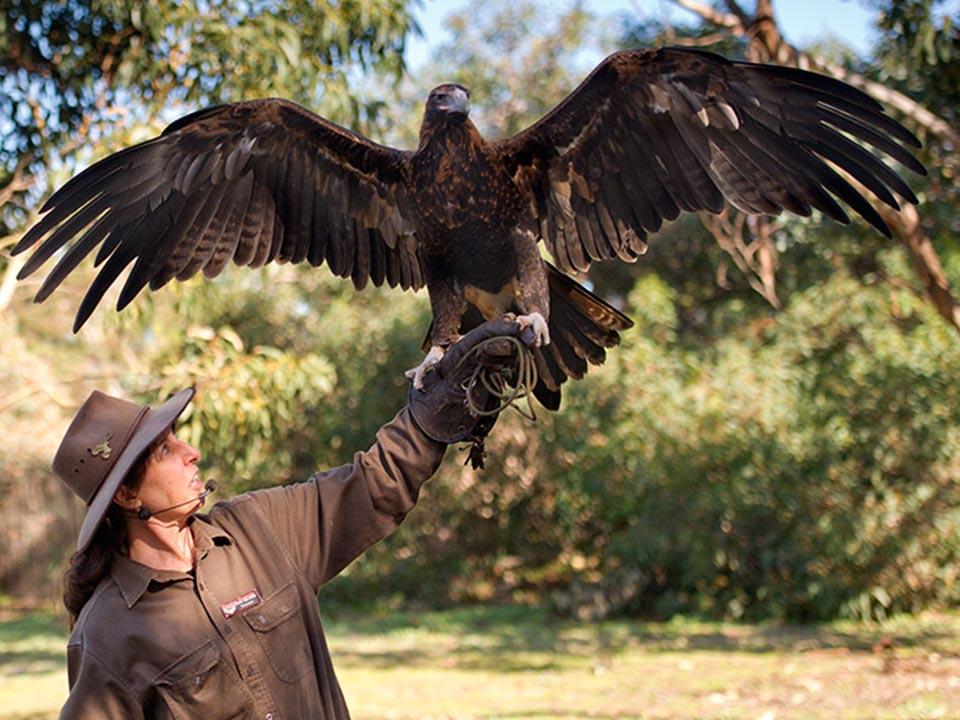 Birds of Prey - Kangaroo Island