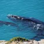 Whales Tour Head of Bight Charter Bus